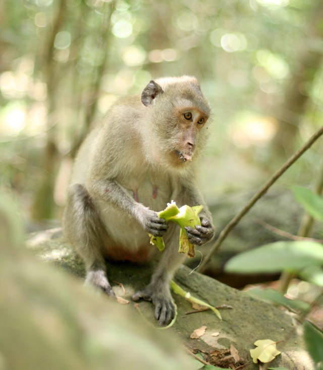 Enjoying a mid-afternoon break, this monkey, native to the highlands of Con Dao, Vietnam, enjoys a potassium-filled snack.